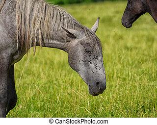 beautiful grey horse in a meadow