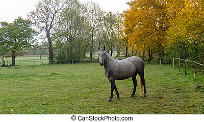beautiful grey horse in the meadow