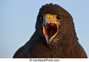 Harris Hawk - A beautiful Harris Hawk or Parabuteo ...