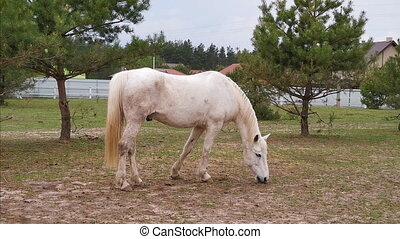 A beautiful horse of a white stallion grazes in a corral of a ranch and plucks the sprouted grass. March, 2020. Kiev, Ukraine. Prores 422