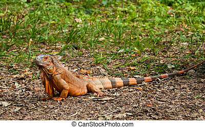 A beautiful iguana in the park