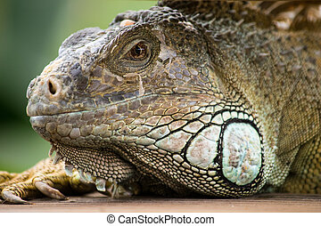 a beautiful iguana portrait