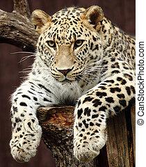 leopard - a beautiful leopard resting on a tree