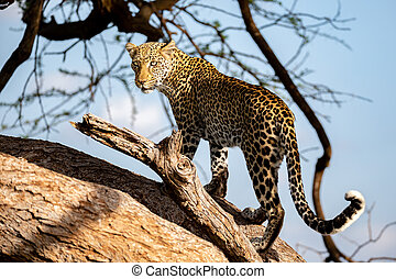A beautiful lepard on the tree is watching
