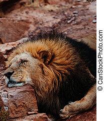 A beautiful lion sleeping in the savannah