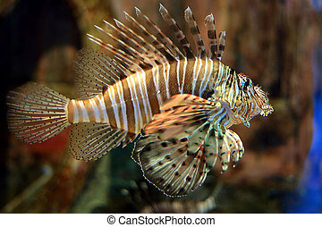 lionfish - a beautiful lionfish in the water