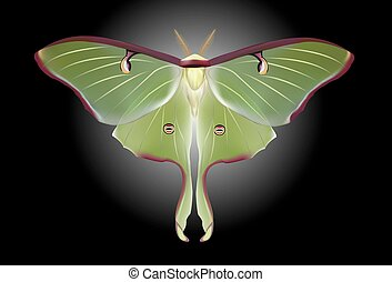 A beautiful Luna Moth (Actias luna)