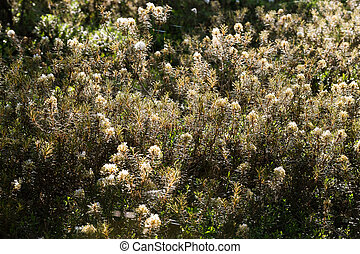 A beautiful marsh labradors growing in natural swamp habitat. Wetland scenery with spring flower.