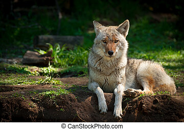 A beautiful North American Coyote (Canis latrans) stares into the camera as it lies on a dirt patch in a Canadian forest.