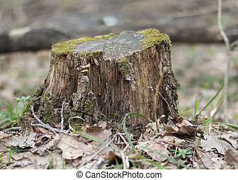 a beautiful old tree stump in spring forest