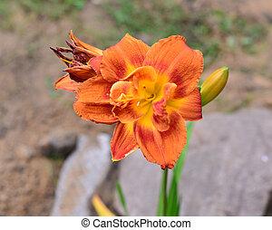 Beautiful orange lilies in the garden
