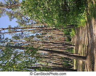 a beautiful pine trees in the forest