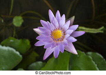 The Appearance Of A Purple Lotus Flower Is A Beautiful Symbol Of