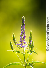 A beautiful purple veronica flowers in a summer meadow. Speedwell blossoms in grass. Closeup photo of gypsygrass.