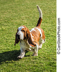 A beautiful, red and white Basset Hound dog walking on the lawn, distinctive for being short-legged, having hanging skin structure, and their very good sense of smell.