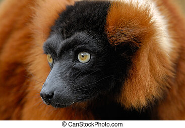 red ruffed lemur - a beautiful red ruffed lemur (Varecia...
