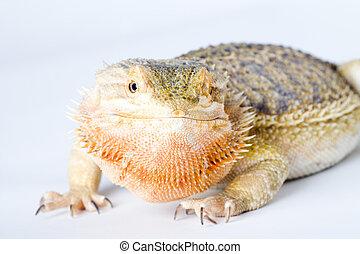 a beautiful reptile - a bearded dragon