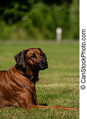 A beautiful Rhodesian Ridgeback lies in the green meadow