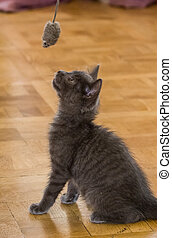 A beautiful Russian blue kitten playing with a toy mouse