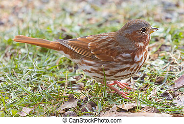 A beautiful rust colored Fox Sparrow (Passerella iliaca) forages on the ground for food