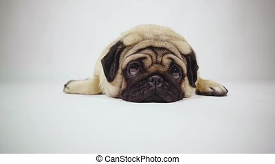A beautiful sad pug lies on isolated gray background.