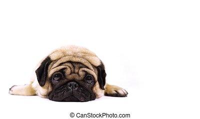 A beautiful sad pug lies on isolated white background