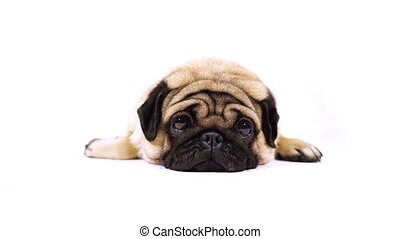 A beautiful sad pug lies on isolated white background, copyspace