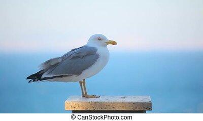 a beautiful seagull close up