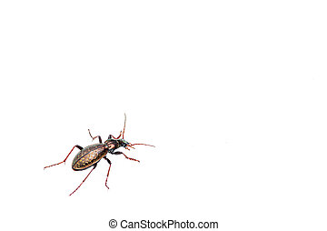 A beautiful shiny ground beetle walking on snow - A ...