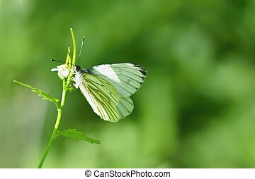 A beautiful shot of butterfly in nature.(Pieris brassicae)