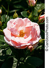 A beautiful soft pink rose with buds illuminated by the bright sun.