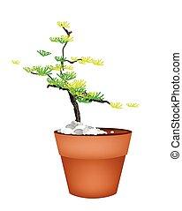 A Beautiful Spruce Tree in Flower Pots