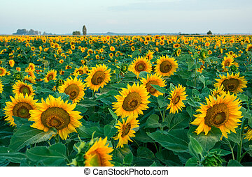 A beautiful sunflower field