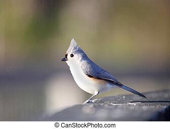 Tufted Titmouse bird