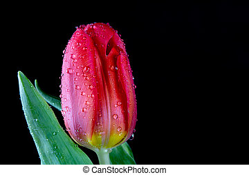 A beautiful wet tulip in a vase. Water drops on flower petals
