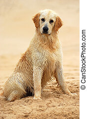 Golden Retriever dog sitting