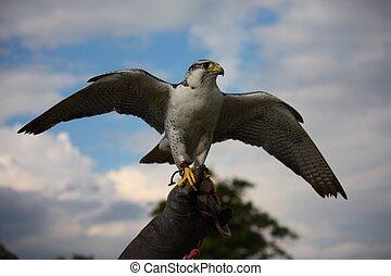 A beautiful white arctic hawk raptor bird