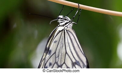 A beautiful white butterfly hanging on a branch