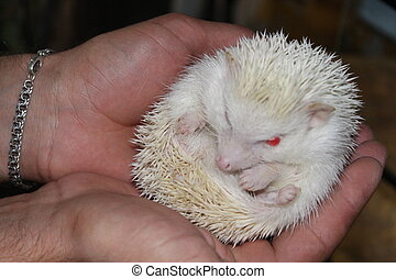 A beautiful white hedgehog