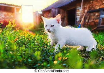 A beautiful white kitten is walking on the grass, in the rays of the sun.