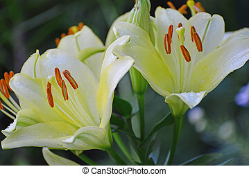 Beautiful white lilies in the garden