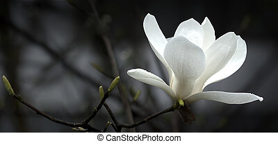 magnolia flower - a beautiful white magnolia flower.