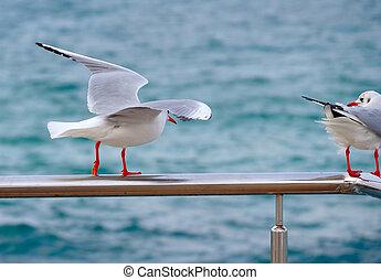 A beautiful white seagull