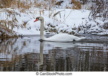 A beautiful white swan in the winter swimming in the river