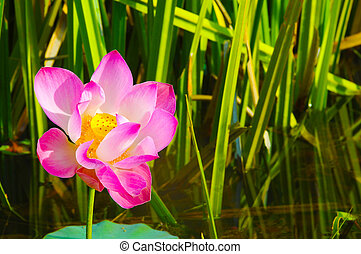 A beautiful wild waterlily or lotus flower in natural.