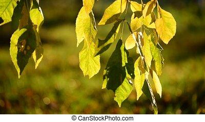 Beautiful yellow autumn leaves backlit - A Beautiful yellow...
