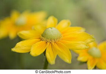 A Beautiful Yellow Daisy