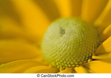A Beautiful Yellow Daisy