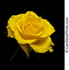 yellow rose in drops of dew on a black background