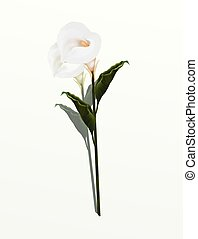 A Beautifully Perfect White Calla Lily Flower, Isolated on...